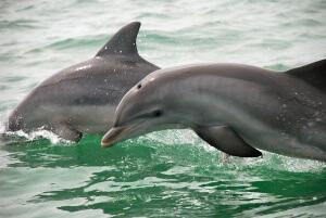 Dolphin near Pawleys Island, Sc
